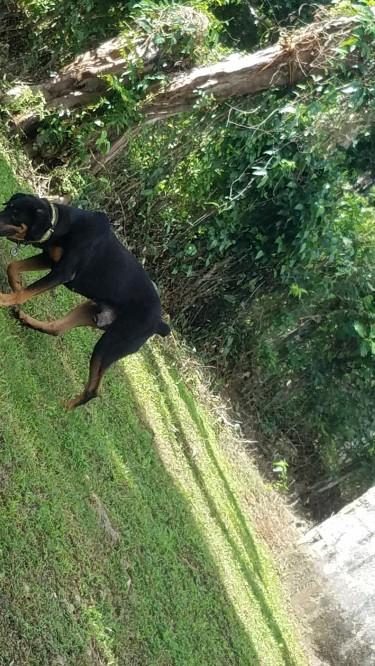 Doberman & Rottweiler Mix