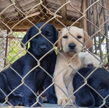 PUREBRED Labrador Retrievers (males)