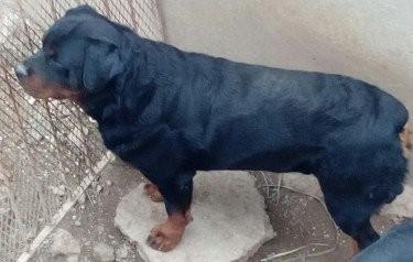 7wks Old Purebred Rottweiler Female Pup Nice Head