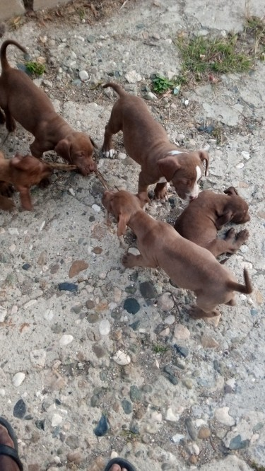 Almost 3 Mths Old Pitbull Pups To Go