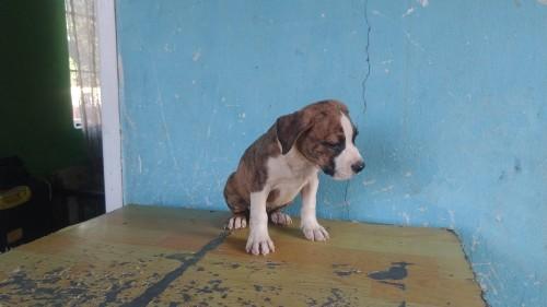 10 Week Old Male. Am Bulldog Mix X Pitbull