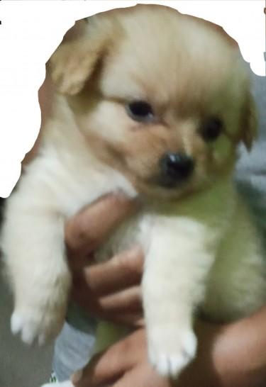 Male Pomeranian Mix With Shitzhu