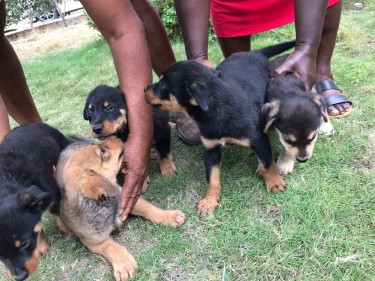 Rottweiler Mixed Puppies