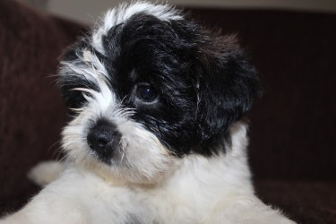Male Shihpoo Puppy - WHATSAPP MESSAGE ONLY