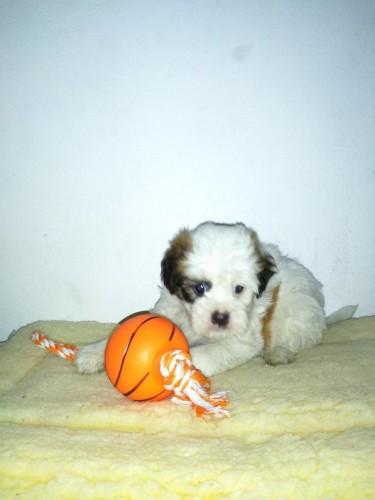 Male Shih Tzu Poodle Pup