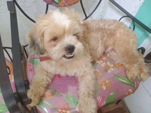 Shih Tzu Pomeranian For Sale 1years