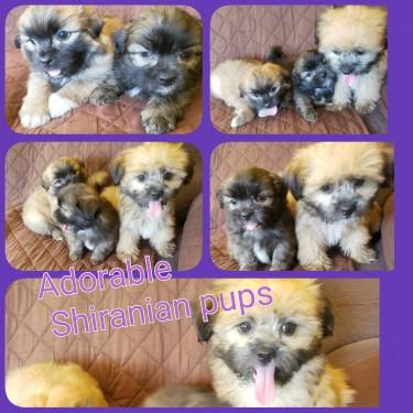 Adorable Shiranian Pups