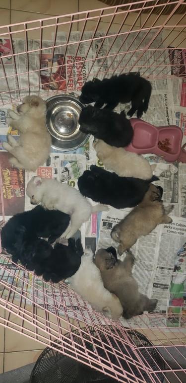 Mixed Pomeranian Puppies Available  Dogs Kingston