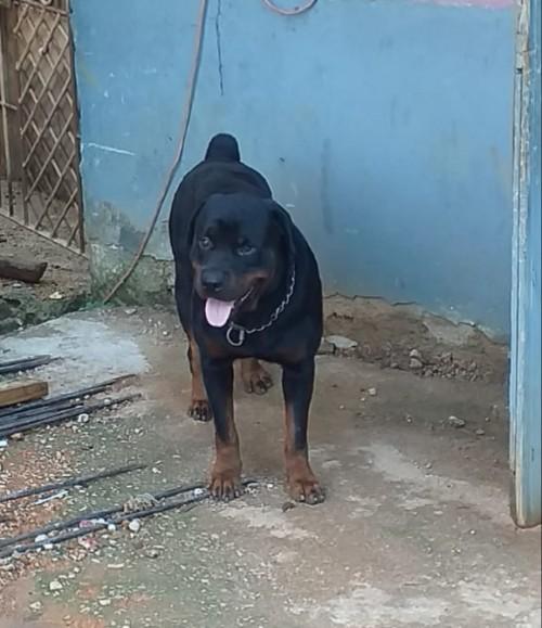 Rottweiler For Stud Service