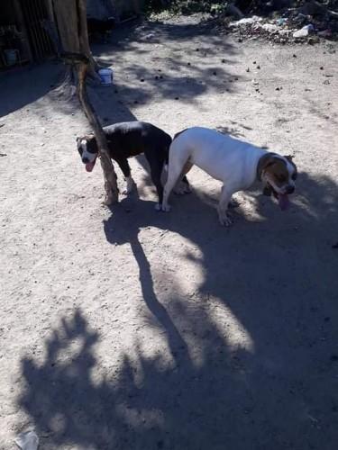Pitbull X Bulldog Pups