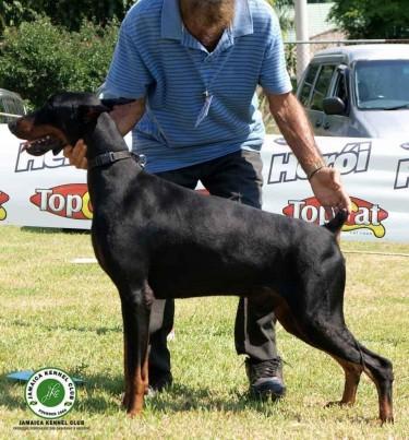 Doberman Pinscher Pups