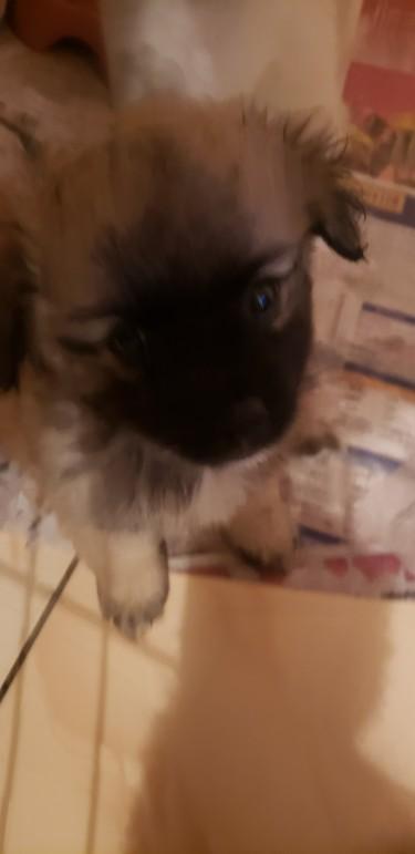 Shih-tzu Mixed Pomeranian Puppies Available