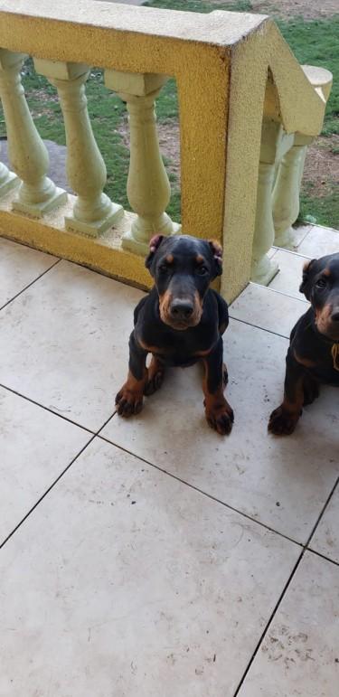 Doberman Pinscher Pups (Registered)
