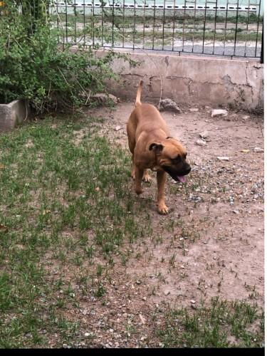 Bull Mastiff X Pit Bull Up For Studding