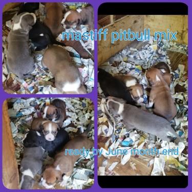 Lovely Mastiff Pitbull Mixed Pups