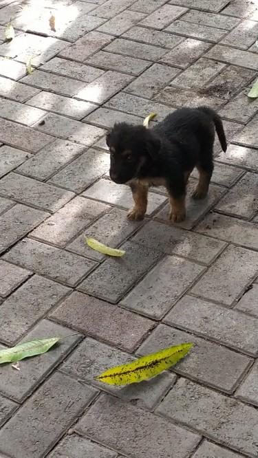 German Shepherd Doberman Pups- 5 Weeks Old