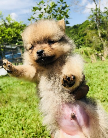Teacup Pomeranian For Sale  Dogs Delivery Anywhere