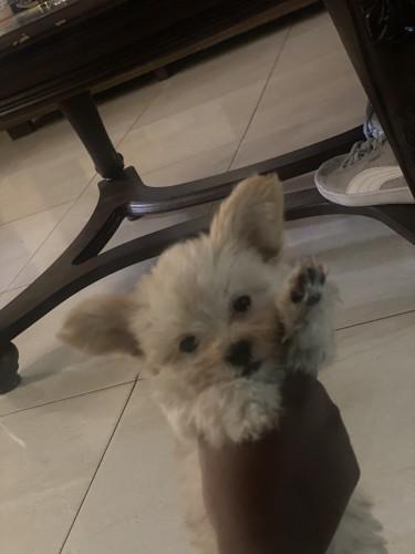 Shihtzu Chihuahua Mix