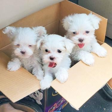 Cachorros Malteses Súper Adorables