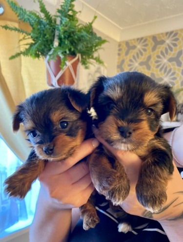 These Gorgeous T-Cup Yorkise Puppies