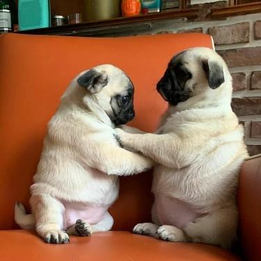 Adorable Outstanding Pug Puppie