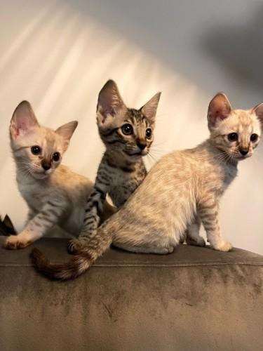 F1 And F2 Savannah Kittens