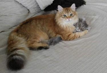 Siberain Kittens