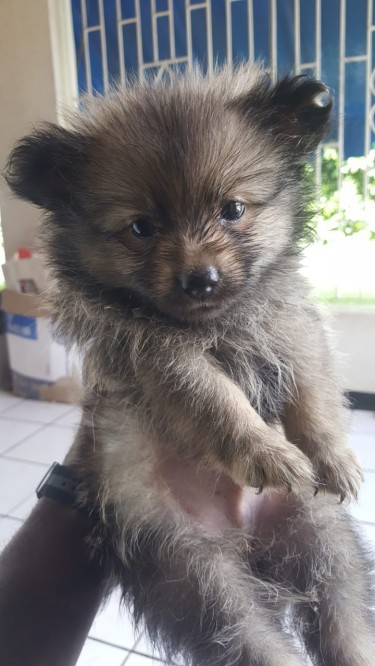 Male Pomeranian Puppies Available