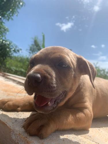 7 Weeks Bully & Shepherd Mix Puppies