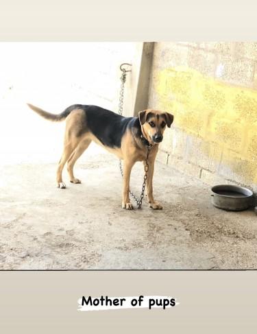 German Shepherd X Rottweiler Mixed Puppies