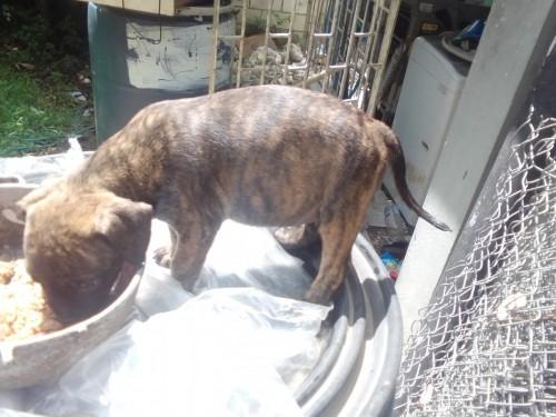 Bully/Pitbull Pup