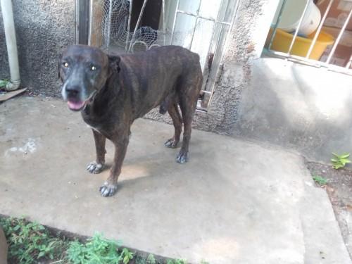 Rotti/Pitti Male And Female Pittbull Watch Dogs