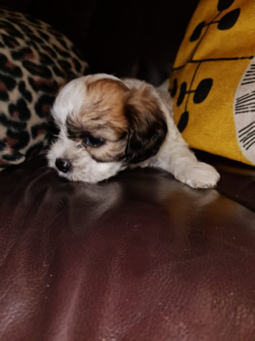 Shih Tzu Mix Pups