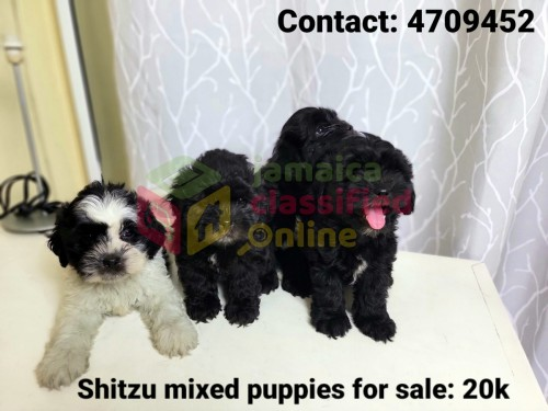 Shitzu Mixed Puppies (only 1 I Have Left)