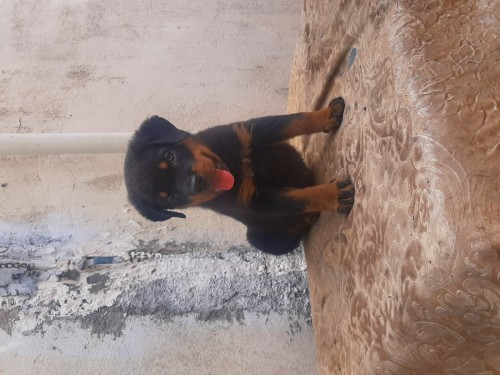 Male Registered 7 Weeks Old Rottie Pup