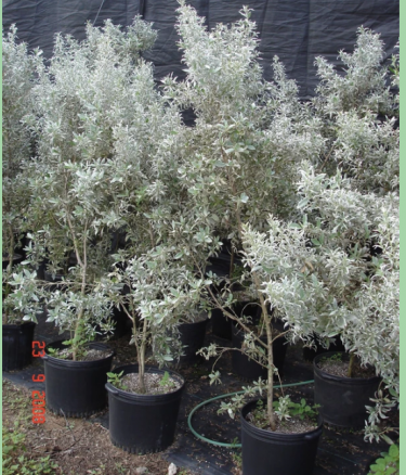 Silver Buttonwood Plants For Sale