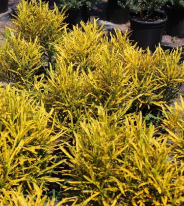 Gold Dust Crotons For Sale