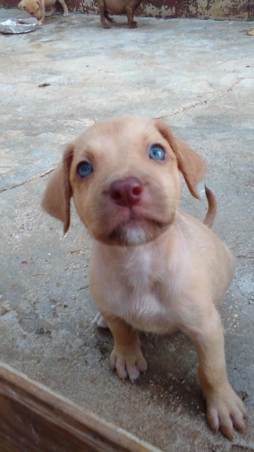 Pitbull Labrador Mix
