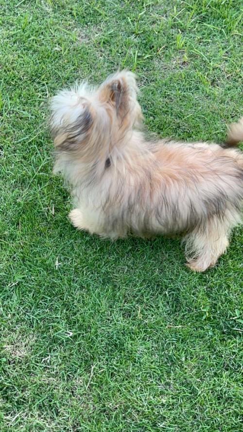 Pomeranian Mixed With Yorki