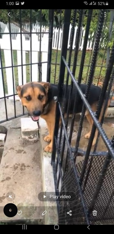 8 Week-old Mix German Shepperd/Rottweiler Puppies