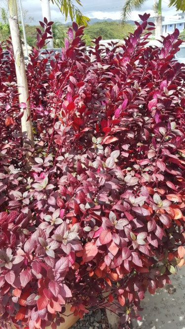 Beautiful Purple Althaneras For Sale