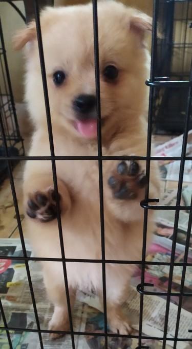 Shih Tzu Pomeranian Puppies - 7 Wks Old Dogs Constant Spring Gardens